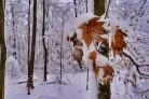 Snowy Leaves and Trees Photographic Print or Canvas Print