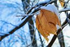 Snowy Trees and Leaves Photographic Print or Canvas Print