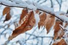 Snowy Leaves Photographic Print or Canvas Print