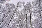 Snowy Trees Photographic Print or Canvas Print