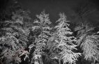 Snowy Trees At Night Photographic Print or Canvas Print